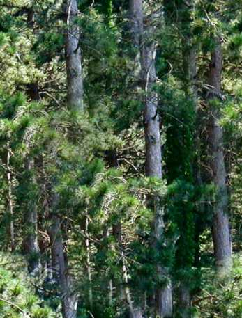 Pine Forest Seamless Background Tile Picture Image